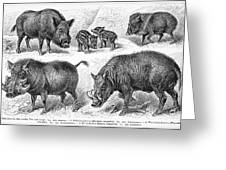 Varieties Of Swine Greeting Card