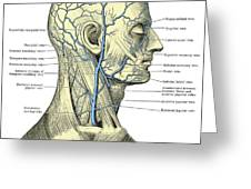 Veins Of The Head And Neck Greeting Card
