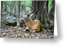 Velvet Buck At Rest  Greeting Card