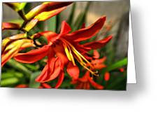Vibrant Crocosmia Greeting Card