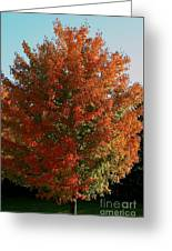 Vibrant Sugar Maple Greeting Card