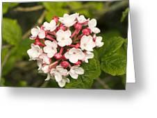 Viburnum Carlesii 'charis' Greeting Card