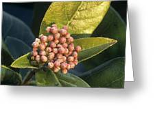 Viburnum Tinus Flower Buds Greeting Card
