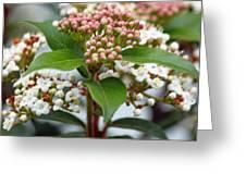Viburnum Tinus Spring Bouquet Greeting Card