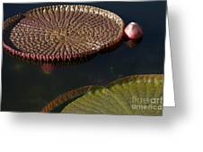 Victoria Amazonica Leaves Greeting Card