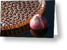 Victoria Amazonica Giant Water Lily Greeting Card