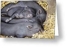 Vietnamese Pot-bellied Piglets Greeting Card