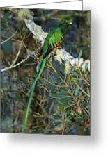 View Of A Male Resplendent Quetzal Greeting Card