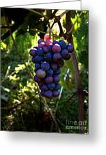 Vineyard 31 Greeting Card