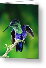 Violet-crowned Woodnymph Thalurania Greeting Card