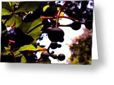Virginia Creeper Fruit Greeting Card