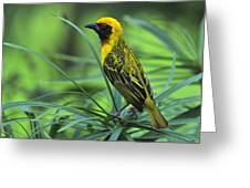 Vitelline Masked Weaver Greeting Card