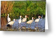 Wading Ibises Greeting Card