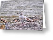 Waiting Gull Greeting Card