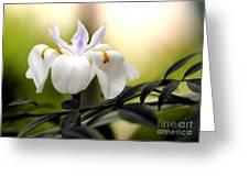 Walking Iris Flower Greeting Card