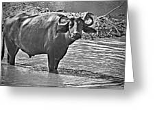 Water Buffalo In Black And White Greeting Card