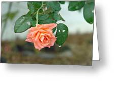 Water Dripping From A Peach Rose After Rain Greeting Card