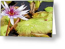 Water Lilly Close Up Greeting Card
