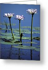 Water Lily Flowers Bloom From A Wetland Greeting Card