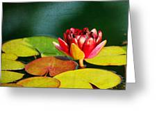 Water Lily II Greeting Card