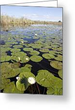 Water Lily Nymphaea Sp Flowering Greeting Card