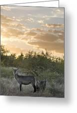 Waterbuck Kobus Ellipsiprymnus Mother Greeting Card