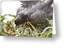 Waterhen Coot On Nest With Eggs Greeting Card