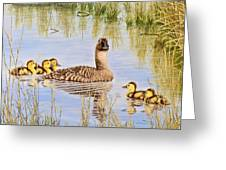 We're Coming - Canvasback And Brood Greeting Card