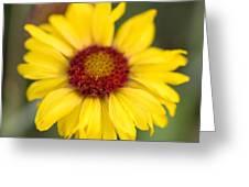 Western Daisy Glacier National Park Greeting Card