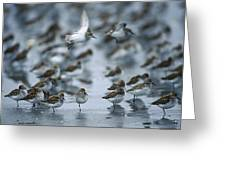 Western Sandpiper Calidris Mauri Flock Greeting Card by Michael Quinton