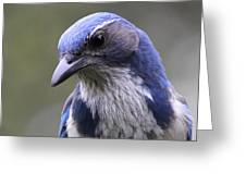 Western Scrub Jay Portrait Greeting Card