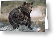Wet Grizzly Bear Running In Stream Greeting Card