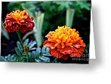 Wet Marigolds  Greeting Card