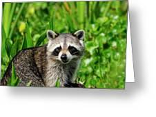 Wetlands Racoon Bandit Greeting Card