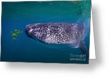 Whale Shark Feeding On Fish, La Paz Greeting Card