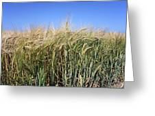 Wheat Field (triticum Sp.) Greeting Card