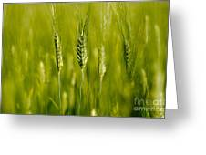 Wheat On The Field Greeting Card