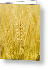Wheat Greeting Card by Paul Rapson