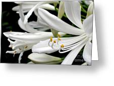 White Agapantha Greeting Card