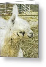 White Alpaca Photograph Greeting Card