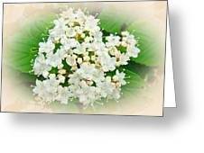 White And Cream Hydrangea Blossoms Greeting Card