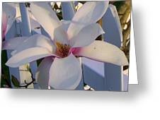 White And Pink Magnolia Greeting Card