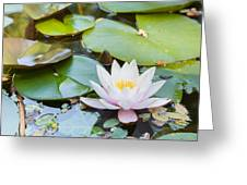 White And Pink Water Lily Greeting Card