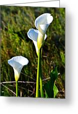 White Arum Lily Greeting Card