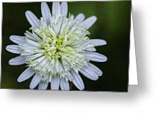 White Aster Greeting Card