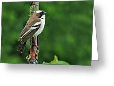 White-browed Sparrow-weaver Greeting Card