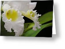 White Cattleya Close-up Greeting Card