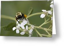 White Crownbeard Wildflowers Pollinated By A Bumble Bee With His Bags Packed Greeting Card