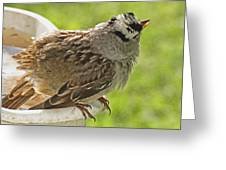 White Crowned Sparrow Sends A Warning Greeting Card