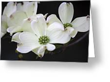 White Dogwood Blossoms Greeting Card